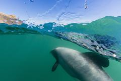 Hector's dolphins (Cephalorhynchus hectori) Akaroa, South Island, New Zealand Stock Photos
