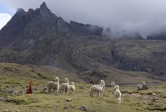 Llamas and herder, Andes, Peru, South America Kuvituskuvat