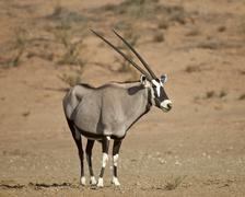 Gemsbok (South African oryx), Kgalagadi Transfrontier Park, South Africa - stock photo