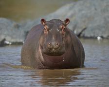 Hippopotamus (Hippopotamus amphibius), Serengeti National Park, Tanzania - stock photo