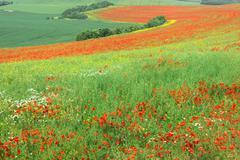 Red Poppies field, Cote d'Opale, Region Nord-Pas de Calais, France Stock Photos