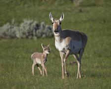 Pronghorn (Antilocapra americana), Yellowstone National Park, Wyoming, USA Stock Photos