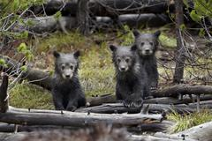 Three grizzly bear cubs, United States Kuvituskuvat