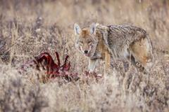 Coyote feeding on an elk carcass, United States Stock Photos