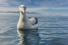 Wandering albatross (Diomedea exulans), Kaikoura, South Island, New Zealand - stock photo