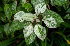 Ornamental variegated leafy shrub Stock Photos