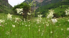 Stock Video Footage of Scenic green meadow with blooming white flowers medicinal Filipendulae