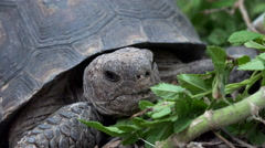 Desert Tortoise Munches Leaves 4K Close Up Stock Footage