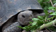 Stock Video Footage of Desert Tortoise Munches Leaves 4K Close Up