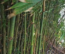 bamboo garden and blurred leaves by wind - stock photo
