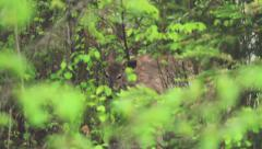 Deer in a wet forest eating Stock Footage