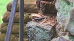 The view of lizard in Sigiriya Stock Footage