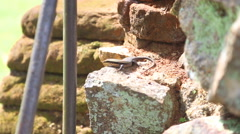 The view of lizard in Sigiriya, an ancient palace located in Sri Lanka. Stock Footage