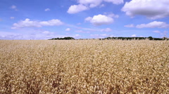 Oat field in anticipation of maturation. Stock Footage