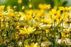 Yellow daisies flower background Stock Photos