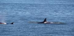 orca whales within the san juan islands giving chase - stock photo