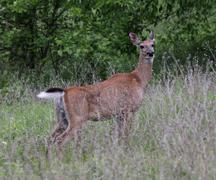 White-tailed Deer on Alert Stock Photos