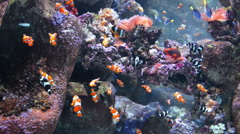 Clown Fish Wide 01 - stock footage