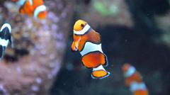 Clown Fish Closeup 02 Stock Footage