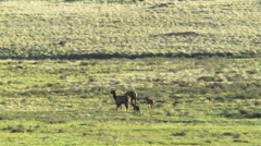 Baby elk and moms Stock Footage