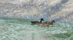 Group of ducks exiting from the water Stock Footage
