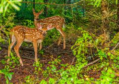 whitetail deer fawn - stock photo