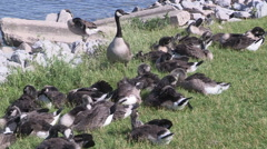 Large flock of Canada geese swim ashore and eat grass along the waterfront Stock Footage