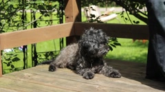 Black poodle lays on wooden porch in bright sunlight - stock footage