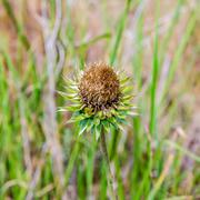 thistle flower in the meadows. onopordum acanthium. spiky plant in wild - stock photo
