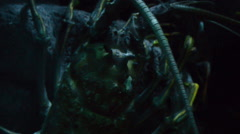Lobster Closeup 01 Stock Footage