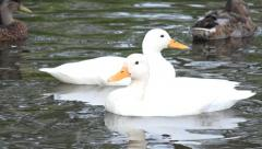 Wildlife white ducks swimming on lake Stock Footage