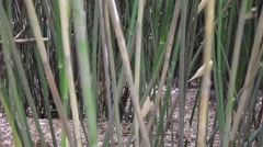 Bamboo in giant panda breeding research center in chengdu Stock Footage