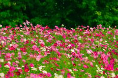Cosmos flower fields Stock Photos