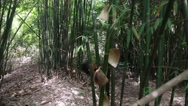 Stock Video Footage of bamboo forest at giant panda breeding research center in chengdu