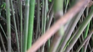 Stock Video Footage of bamboo at the giant panda breeding research center in chengdu
