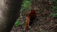 Stock Video Footage of a red panda at giant panda breeding research center in chengdu