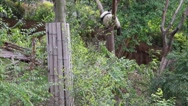 Stock Video Footage of panda sleeping in tree in the giant panda breeding research center in chengdu