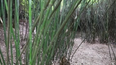 Bamboo at giant panda breeding research center in chengdu Stock Footage