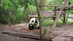 Panda eating bamboo in the giant panda breeding research center in chengdu Stock Footage
