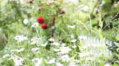 Red roses and daisies in the garden, full HD Stock Footage
