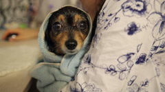 Little Dog After Bathing Stock Footage