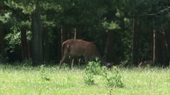 Red Deer (cervus elaphus) hind with calf grazing at forest edge - on camera Stock Footage