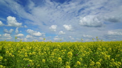 Beautiful flowering rapeseed field under blue sky - slider dolly shot Stock Footage