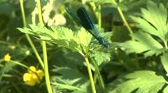 Blue Dragonfly Calopteryx virgo on a grass Stock Footage