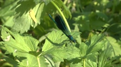 Blue Dragonfly Calopteryx virgo on a grass Stock Footage