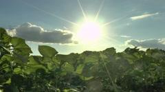Sunflower field,evening. - stock footage