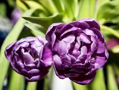 tulipa blue diamond - stock photo