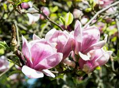 detail of blooming magnolia tree - stock photo