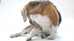 Adorable beagle scratch the body Stock Footage