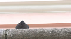 A barn swallow bird facing backward 4k gh4 Stock Footage